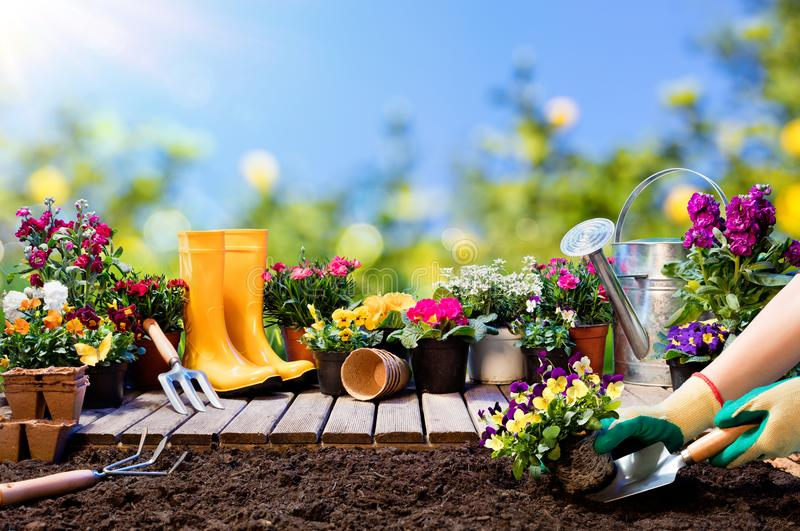 Gardening - Gardener Planting Pansy. With Flowerpots And Tools royalty free stock photography