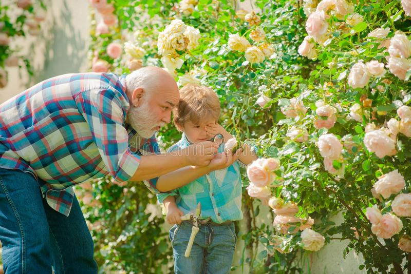Gardening - Grandfather gardener in sunny garden planting roses. Growing plants. Farm family. Spring and hobbies. Father stock photos