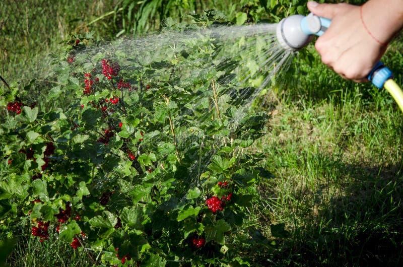 Gardening. hand watering plants. eggplant in vegetable garden. close up stock photos