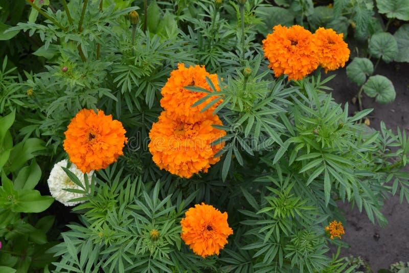 Gardening Groen Mooie bloem Barhatts erect, Tagetes erecta stock afbeelding