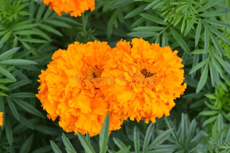 Gardening Groen Mooie bloem Barhatts erect, Tagetes erecta royalty-vrije stock foto