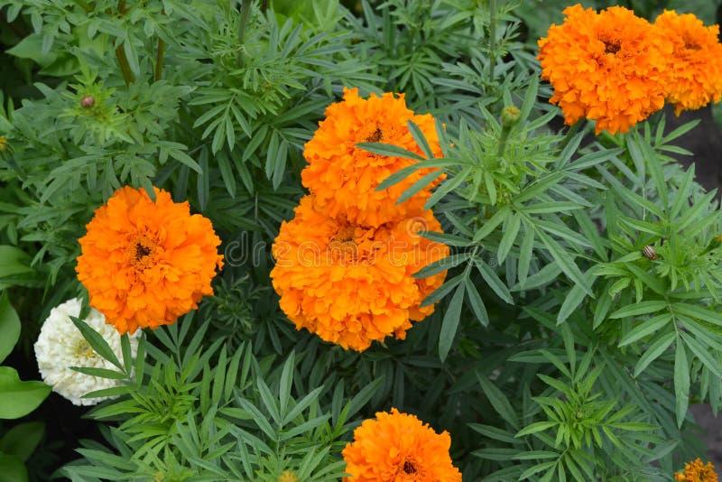 Gardening Groene bladeren, struiken Mooie bloem Barhatts erect, Tagetes erecta royalty-vrije stock afbeeldingen