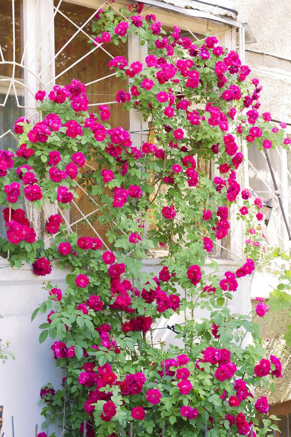 Gardening and growing plants of flowers. A bright red shrub pink rose blooms in summer on a wall in the courtyard of a building. With many buds in a decorative royalty free stock image