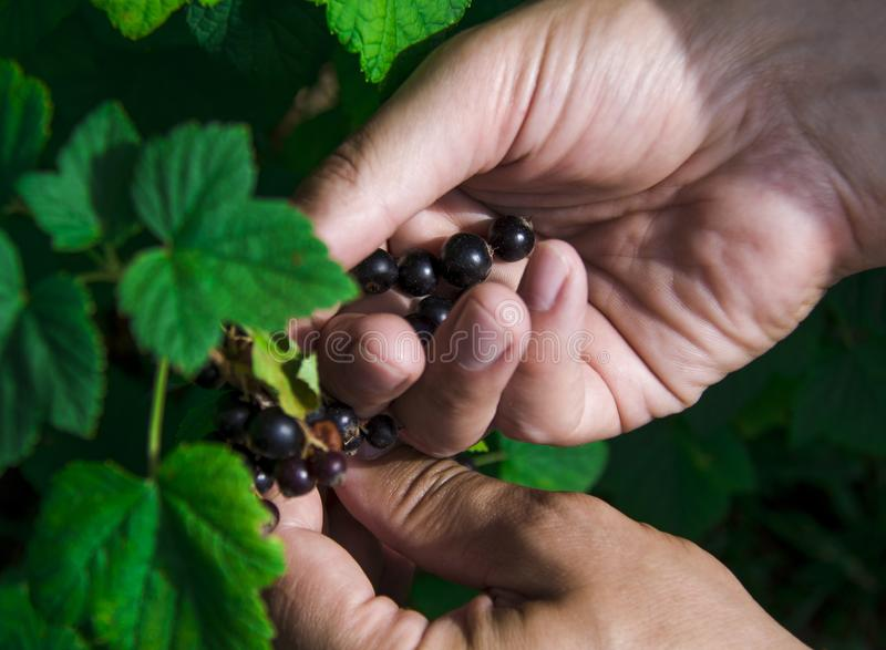 Gardening. The man& x27;s hand collects blackcurrant berries from a green bush. Close-up agriculture berry closeup food freshness fruit leaf natural nature royalty free stock image