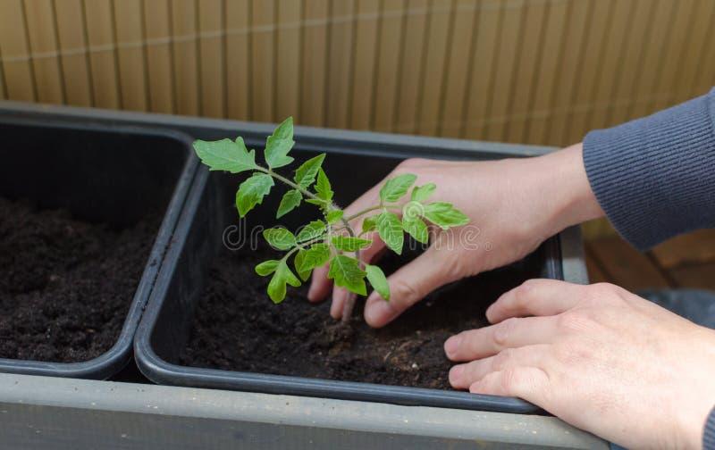 Gardening op het balkon De handen van vrouwen planten kleine tomaten in de plastic pot Sluiten royalty-vrije stock fotografie