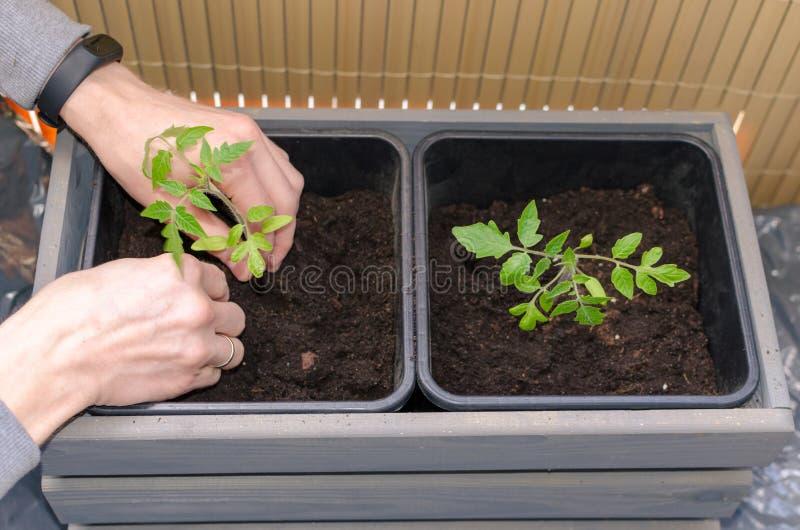 Gardening op het balkon Handen planten kleine tomaten in de plastic pot Sluiten stock afbeelding