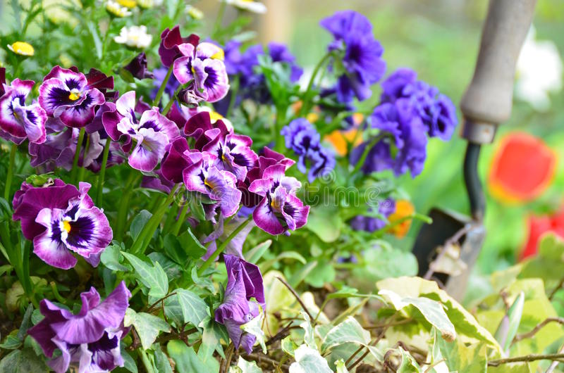 Gardening. With pansy flowers in spring stock photos