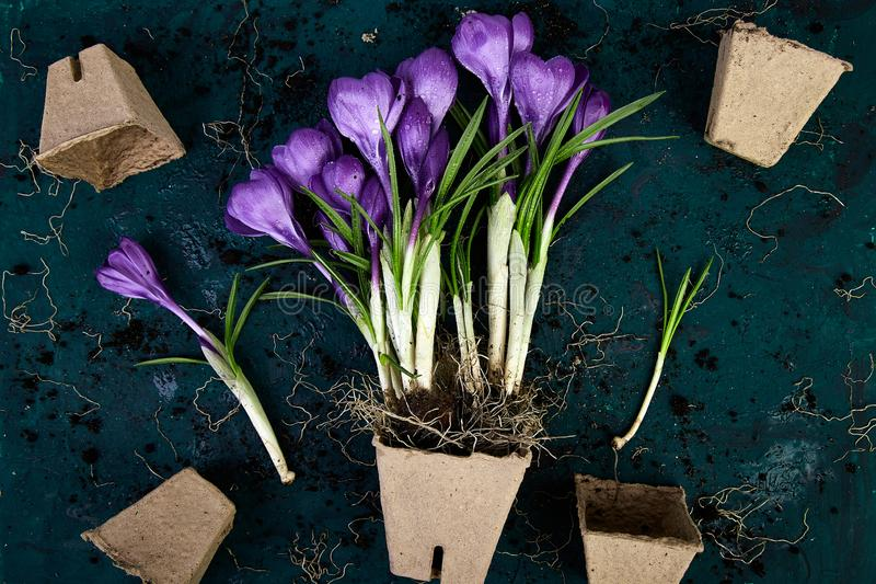 Gardening. Peat pots, crocus flower and young seedlings. spring. Gardening. Peat pots, crocus flower and young seedlings, watering can on a green background royalty free stock photo