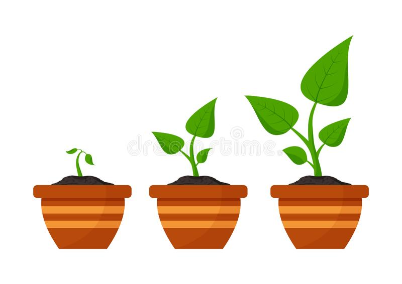 Gardening. Phases plant growing. Planting. Seeds sprout in flower pot. Infographic and evolution concept. Vector stock photography