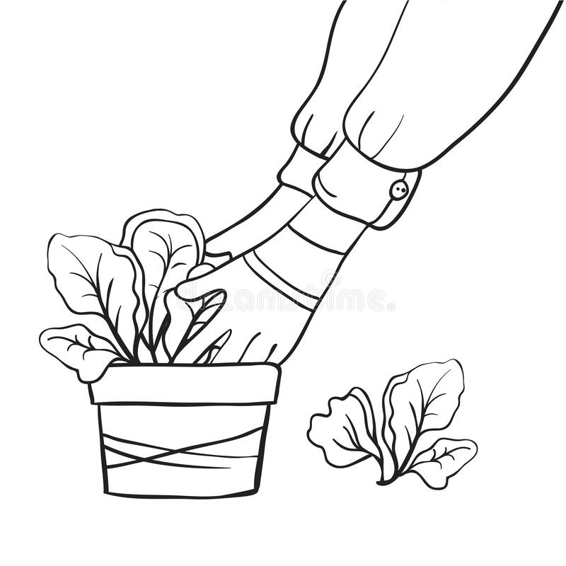 Gardening, planting seedlings or plants. Working hands of a gardener in gloves. Flower pot with seedlings. Young spring lettuce. H stock illustration