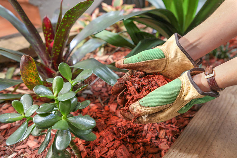 Gardening and preparing the garden beds with a red cedar wood chip mulch. Healthy garden with a beautiful red coloured cedar wood chip used a compost and a stock photo
