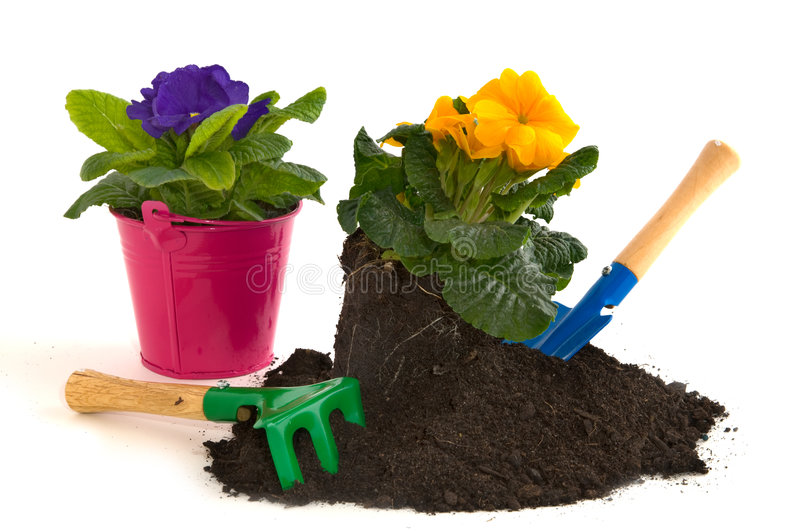Gardening with Primulas royalty free stock photography