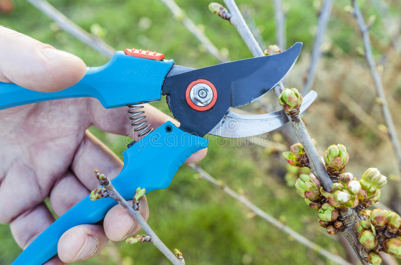 Gardening pruning tool. Gardening pruning shears tool used on tree branch stock image