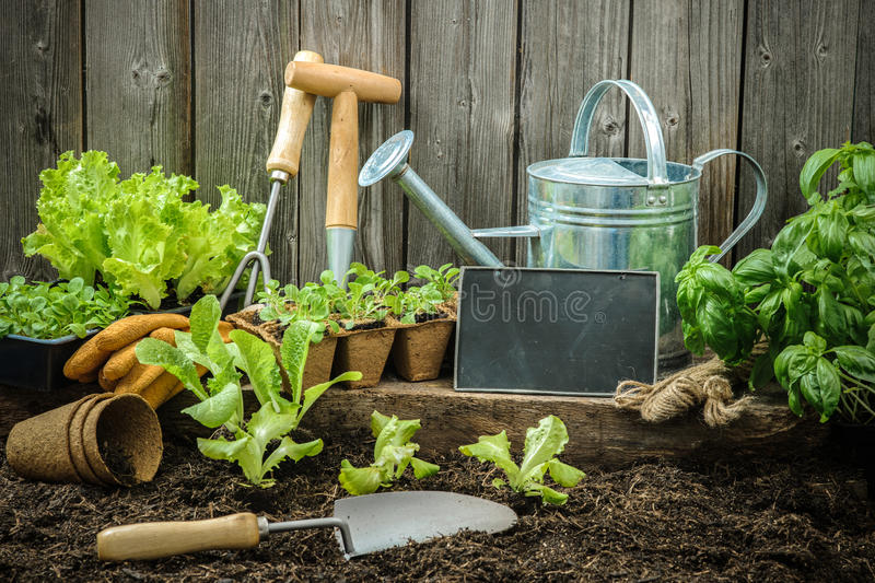 Gardening. Seedlings of lettuce with gardening tools outside the potting shed
