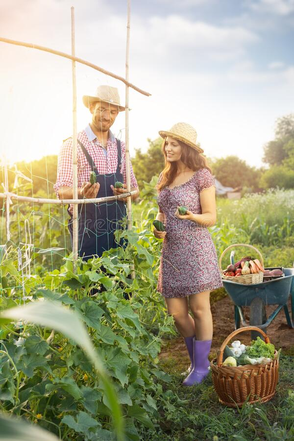 Gardening in summer - couple harvesting. Farmers couple harvesting cucumber in  their garden royalty free stock photo