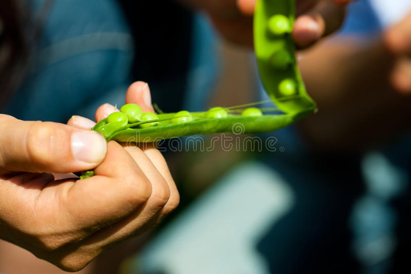 Gardening in summer - woman harvesting peas royalty free stock photo