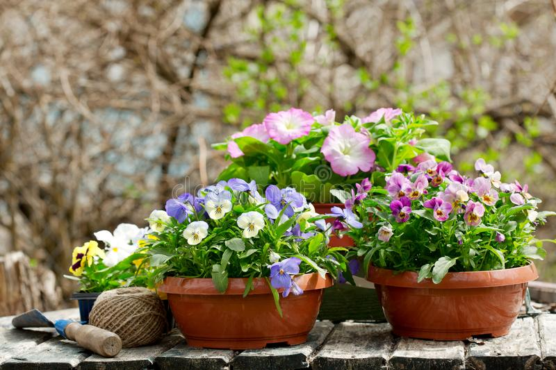 Gardening tools and colorful pansy flowers stock images