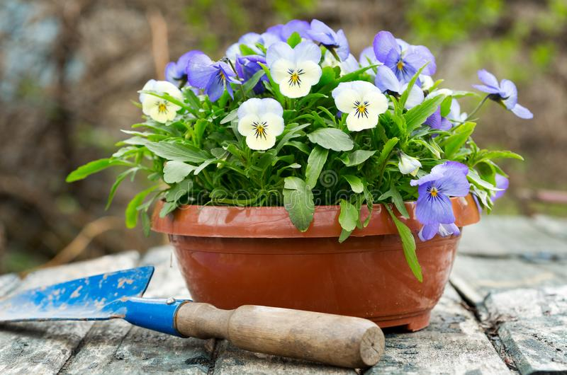 Gardening tools and colorful pansy flowers royalty free stock photos