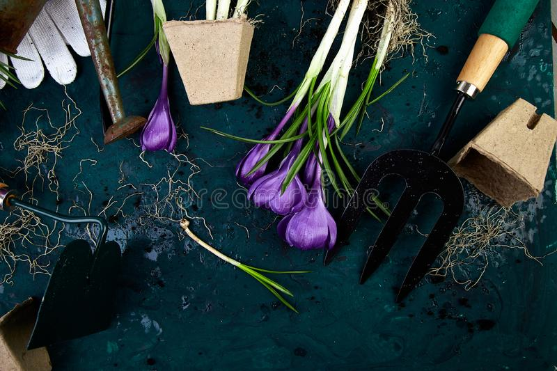 Gardening tools, peat pots, crocus flower. spring. Gardening tools, peat pots, crocus flower and young seedlings, watering can on a green background. Concept of royalty free stock photography