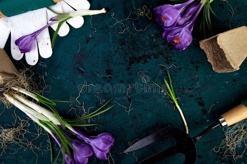 Gardening tools, peat pots, crocus flower. spring. Gardening tools, peat pots, crocus flower and young seedlings, watering can on a green background. Concept of royalty free stock image