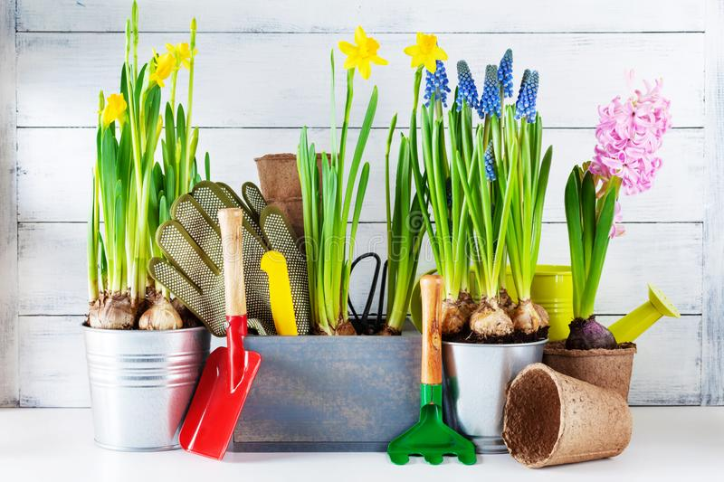 Gardening tools and seedling of spring bulbous flowers for planting on flowerbed in the garden. Horticulture concept stock photography