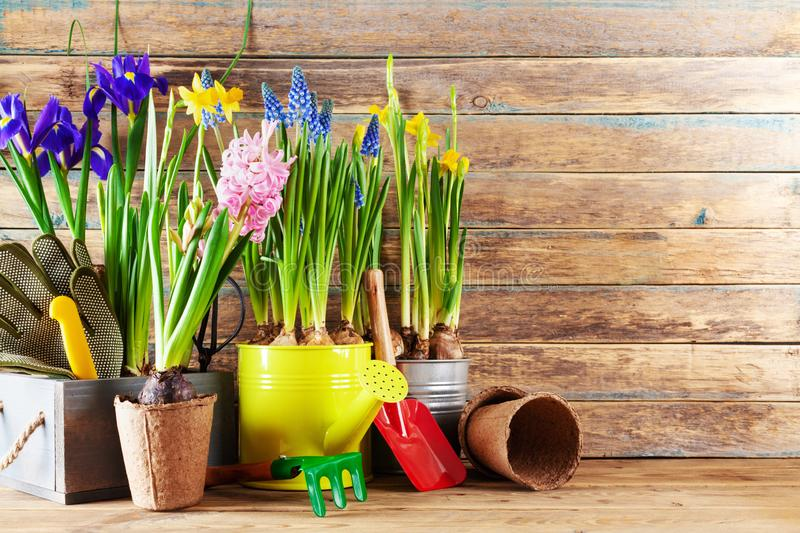 Gardening tools and seedling of spring flowers for planting on flowerbed in the garden. Horticulture concept. Clean space for text stock photos