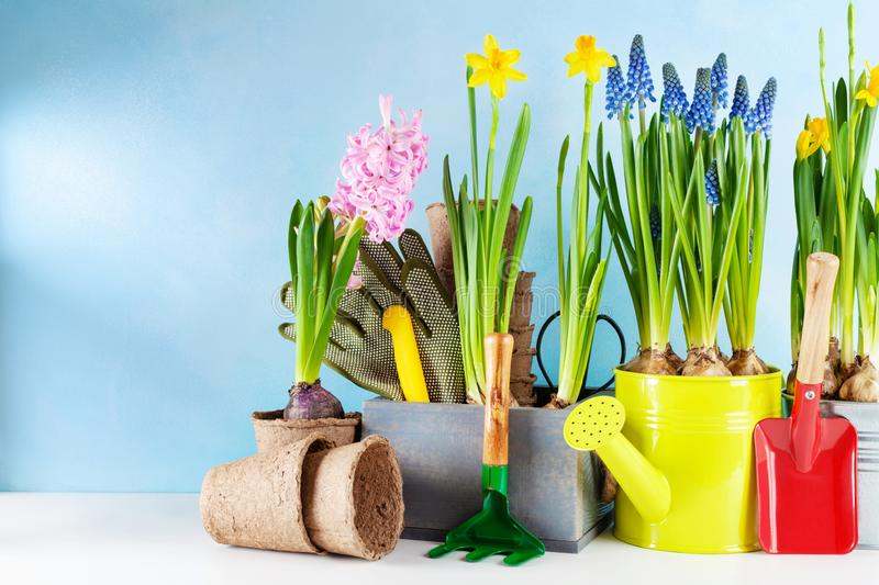 Gardening tools and seedling of spring flowers for planting on flowerbed in the garden. Horticulture and plant growing concept stock photos