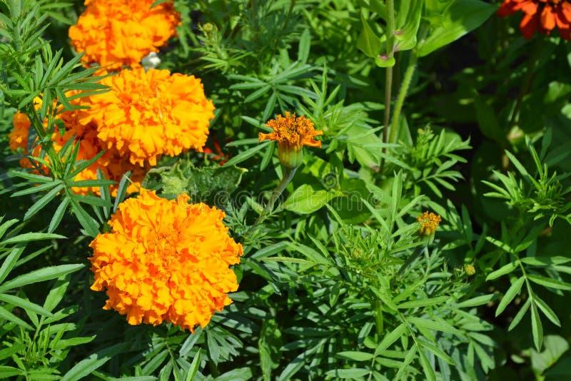 Gardening Tuin, bed Groene bladeren, struiken Mooie bloem Barhatts erect, Tagetes erecta royalty-vrije stock afbeelding