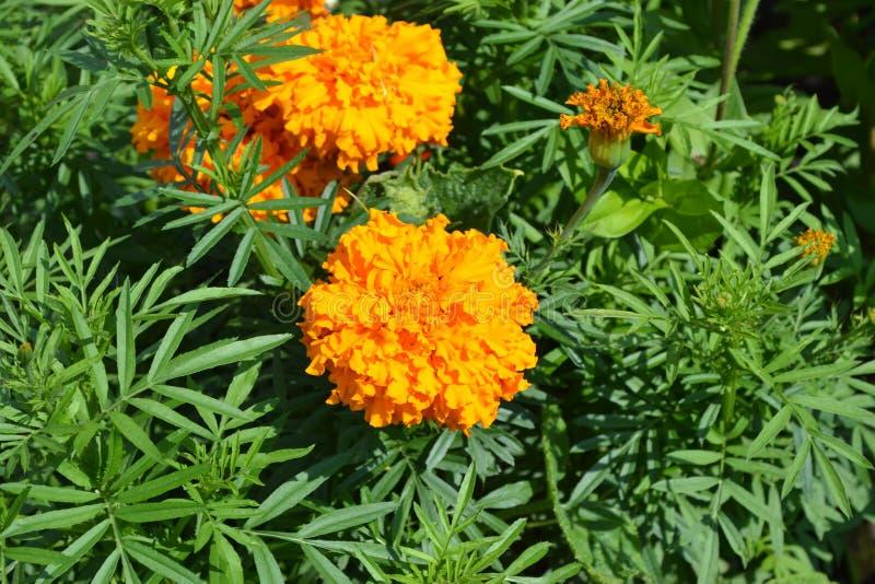Gardening Tuinen, bloembed Groene bladeren, struiken Mooie bloem Barhatts erect, Tagetes erecta stock afbeeldingen