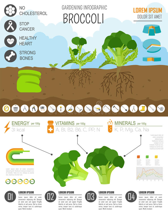 Gardening work, farming infographic. Broccoli. Graphic template. Flat style design. Vector illustration vector illustration
