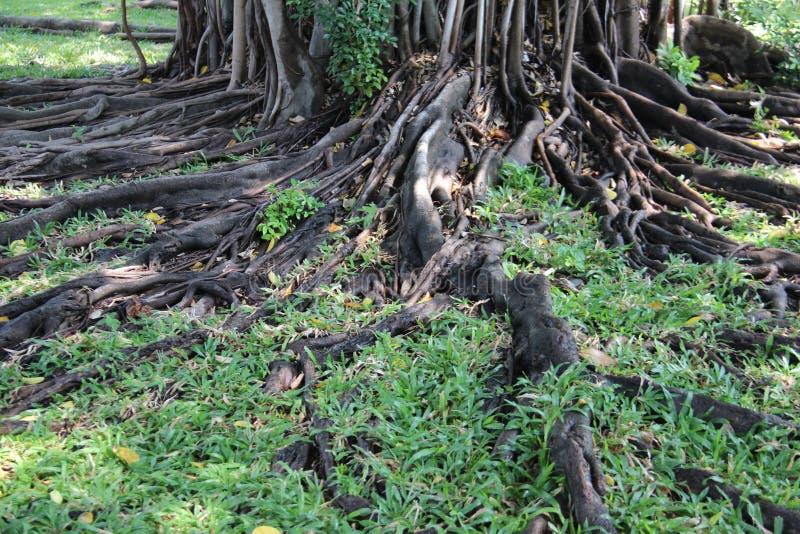 Gardinfikonträdet rotar med grönt gräs arkivfoton