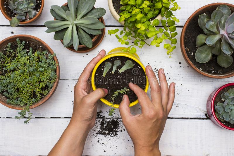 Gardner`s hands planting succulents in pot surround by other succulent plants with vintage white board background. royalty free stock image