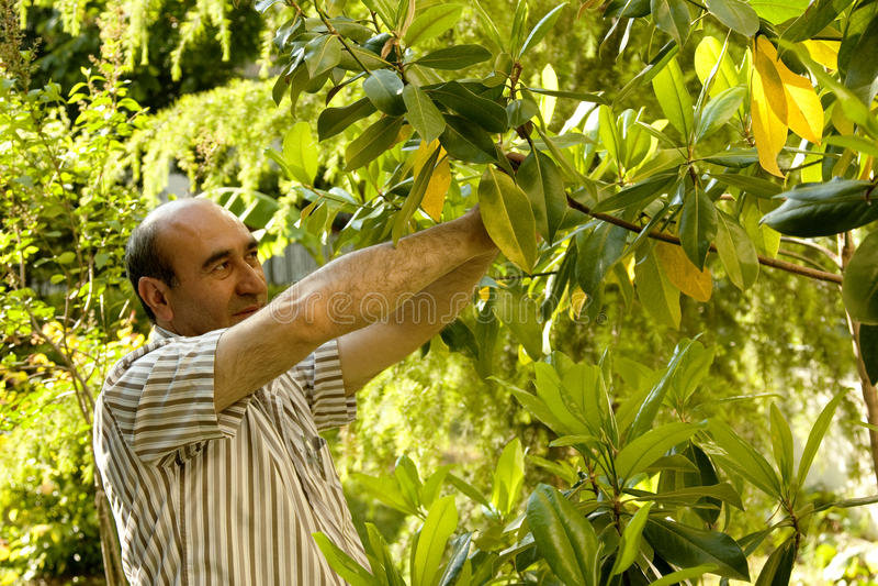 Download Gardner Trimming The Tree Stock Photos - Image: 14452213