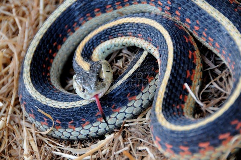 gardner wyczuwa węża niebezpieczeństw fotografia stock