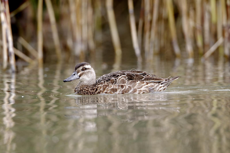 Garganey duck, Anas querquedula royalty free stock photography