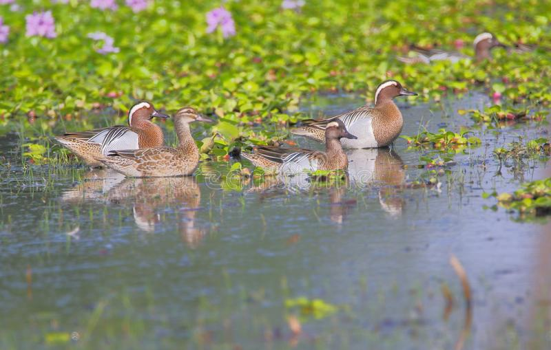 Garganey duck, bird. Garganey duck family swimming in morning time in water of pond. god hes given this bird artistic color. beautiful and natural view of scene royalty free stock photography