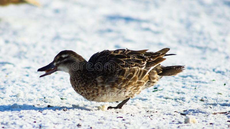 Garganey duck or Spatula querquedula female on snow close-up portrait in winter, selective focus, shallow DOF.  royalty free stock photography