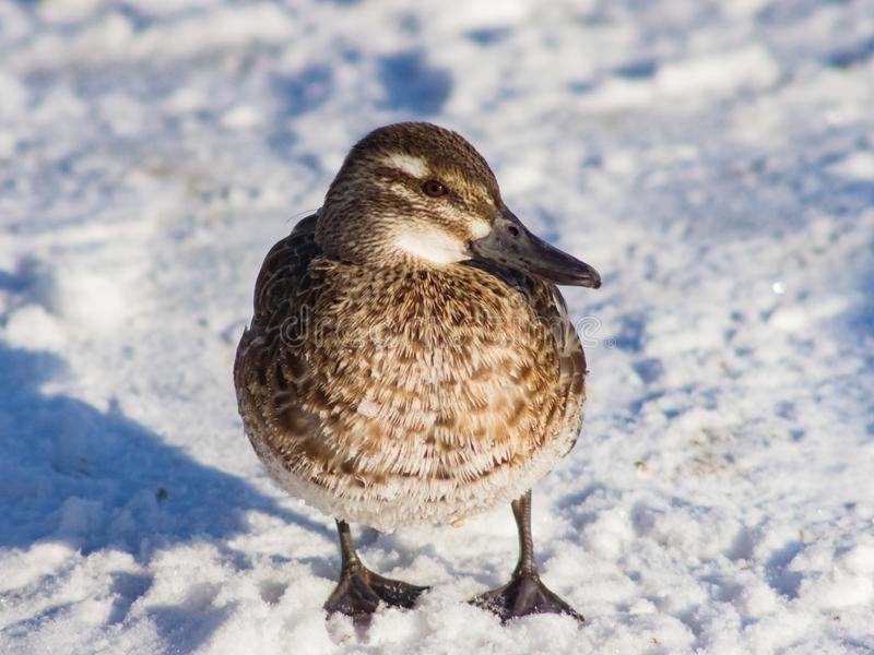 Garganey duck or Spatula querquedula female on snow close-up portrait in winter, selective focus, shallow DOF.  stock images