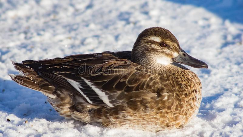 Garganey duck or Spatula querquedula female on snow close-up portrait in winter, selective focus, shallow DOF.  stock image