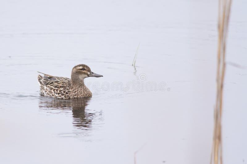 Garganey. Female garganey swimming on a lake stock images