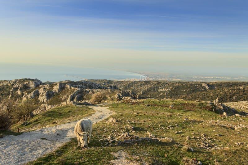 Gargano udde: panoramautsikt fr?n Monte Sant ` Angelo Lantligt landskap med kon och att beta: p royaltyfria foton