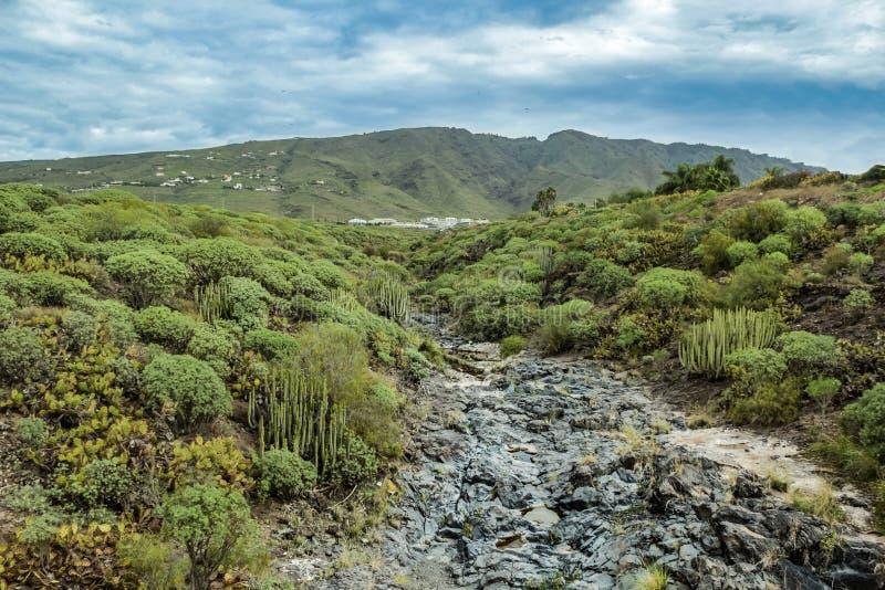 Garganta típica que cerca pelo balsamifera endêmico canarino em Adeje, o sul do eufórbio do milkweed de Tenerife, montanhas no fotografia de stock royalty free
