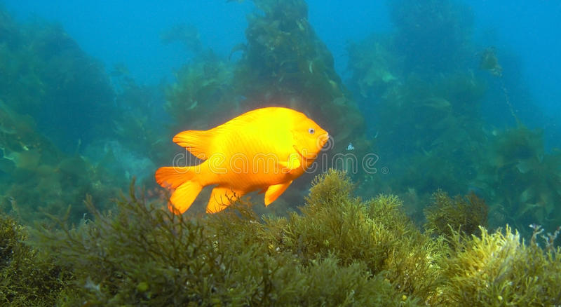 Garibaldi photographie stock