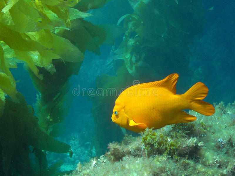 Garibaldi adulte photo stock