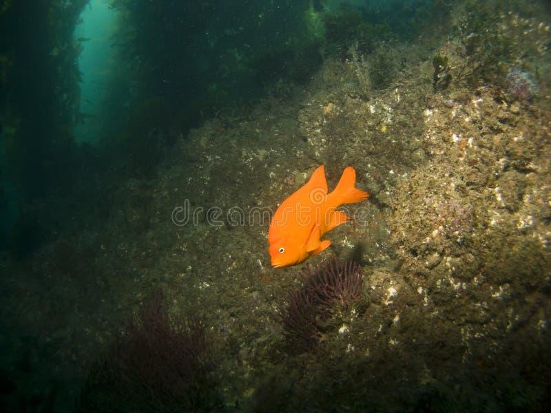 Garibaldi in Catalina's Underwater Park. Garibaldi in Avalon Catalina's Underwater Park royalty free stock images