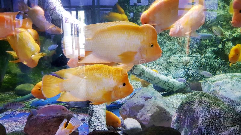 Garibaldi fish royalty free stock photos