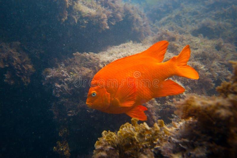 Garibaldi dans l'océan en Californie méridionale photographie stock libre de droits