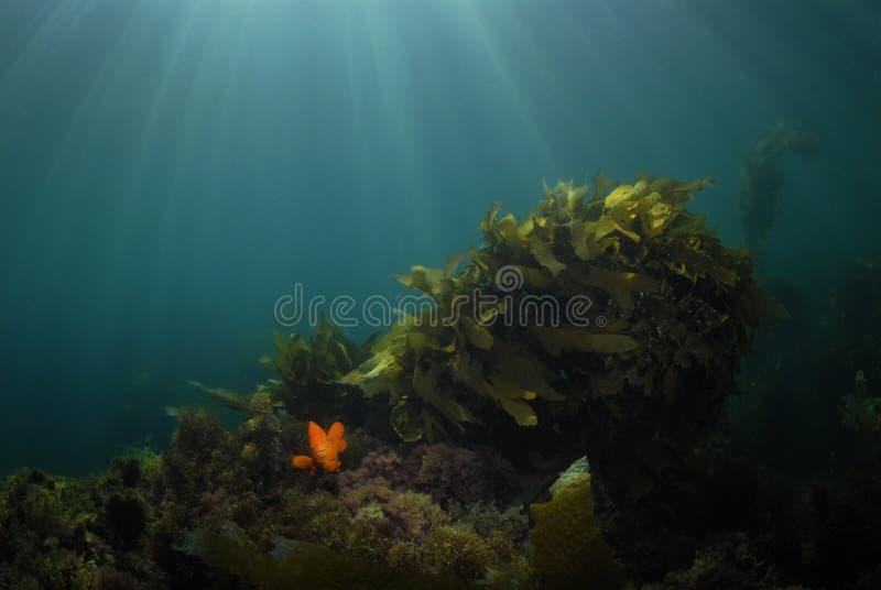 Garibaldi nella priorità bassa del kelp fotografia stock libera da diritti