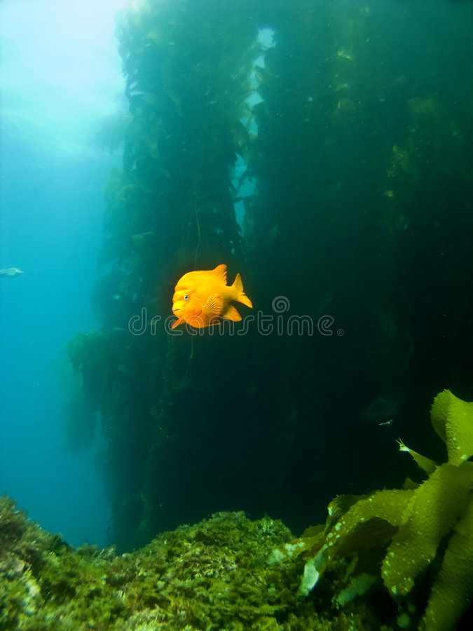Garibaldi swimming out of the Kelp in Catalina. Garibaldi swimming out of the Kelp in Avalon Catalina stock images