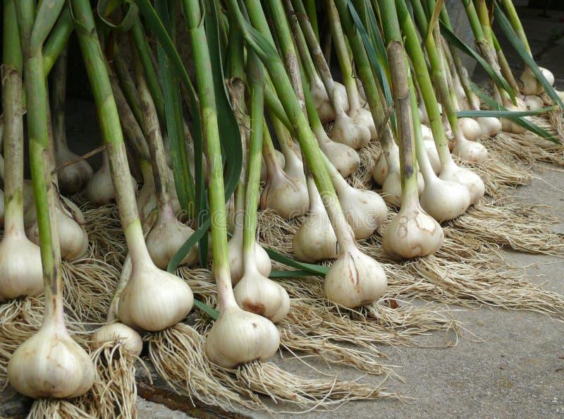Garlic. Fresh green garlic after ingathering royalty free stock photography